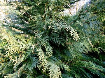 The branches arborvitae №43038