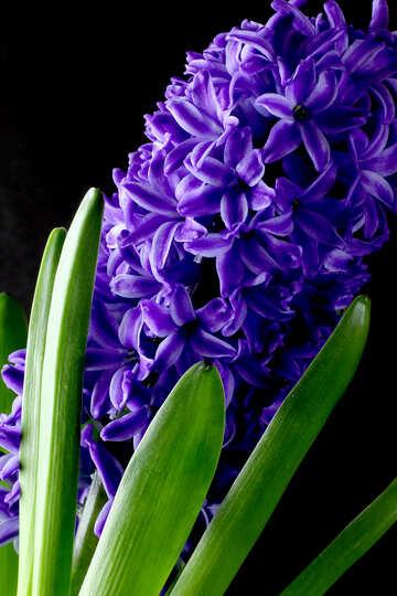 Flowers hyacinths