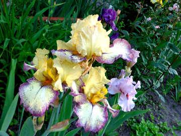 Multicolored flowers irises №43010