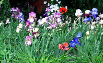 Multicolored flowers irises in the garden №43007