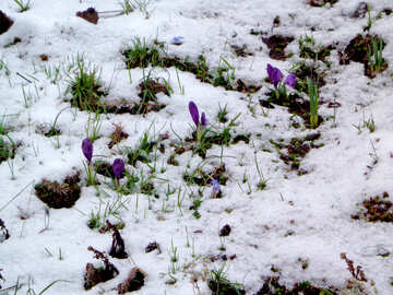 The first flowers in snow №43126