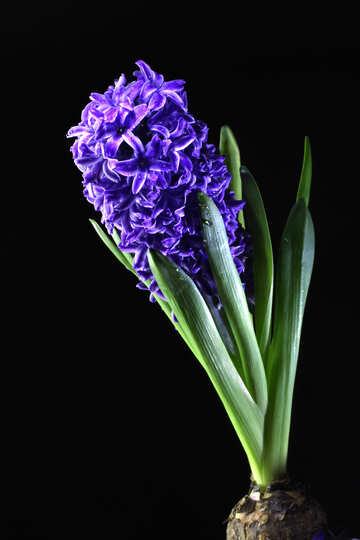 Hyacinth №43066