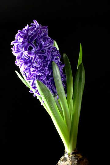 Hyacinth flower №43063