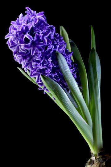Flower hyacinth №43065