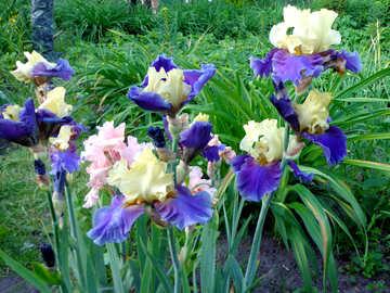 Colored irises №43011