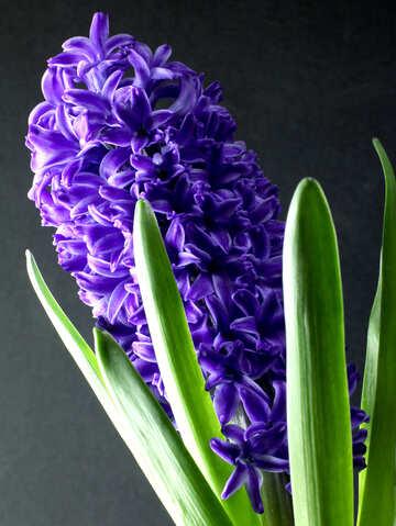 Flower hyacinths №43061