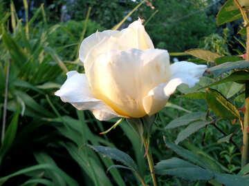Rosa bianca №43013