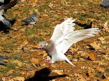 White Pigeon flying №43185