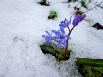 First flower in snow №43141