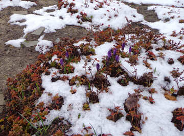 Glade crocus in the snow №43124