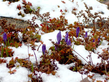 Spring flowers in the snow №43102