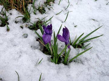 Snowdrops №43130