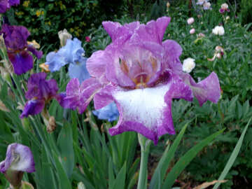 Beautiful iris flower