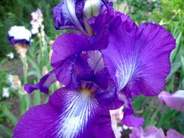 Bright iris flower №43016