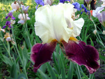 Colorful iris flower №43032