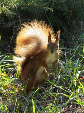 Eichhörnchen №43167