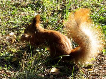 Eichhörnchen mit einer Nuss №43175