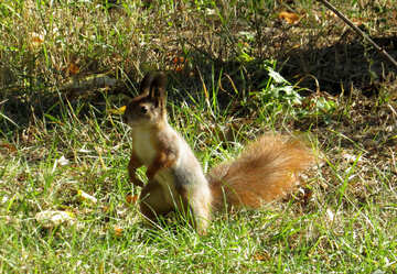 Squirrel sitting in the grass №43189