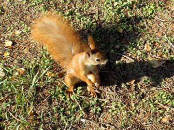 Squirrel sitting on its hind legs №43157