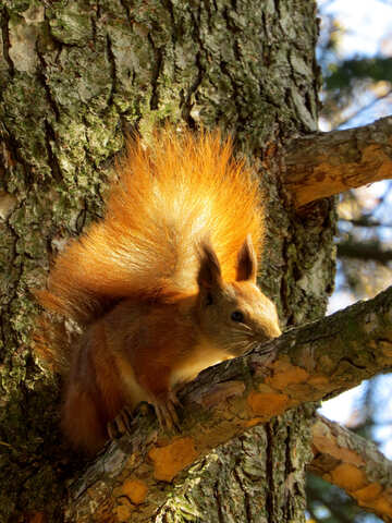 Eichhörnchen auf dem Baum №43164
