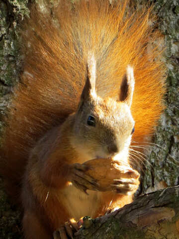 Squirrel eating nut №43180