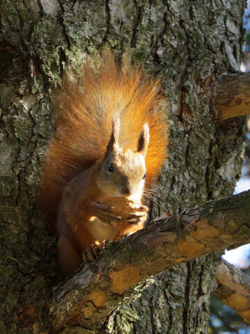 Squirrel eating nut on the tree №43181