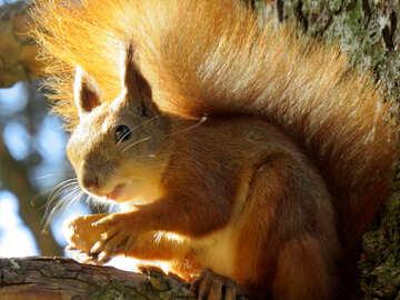 Eichhörnchen, das eine Mutter №43161