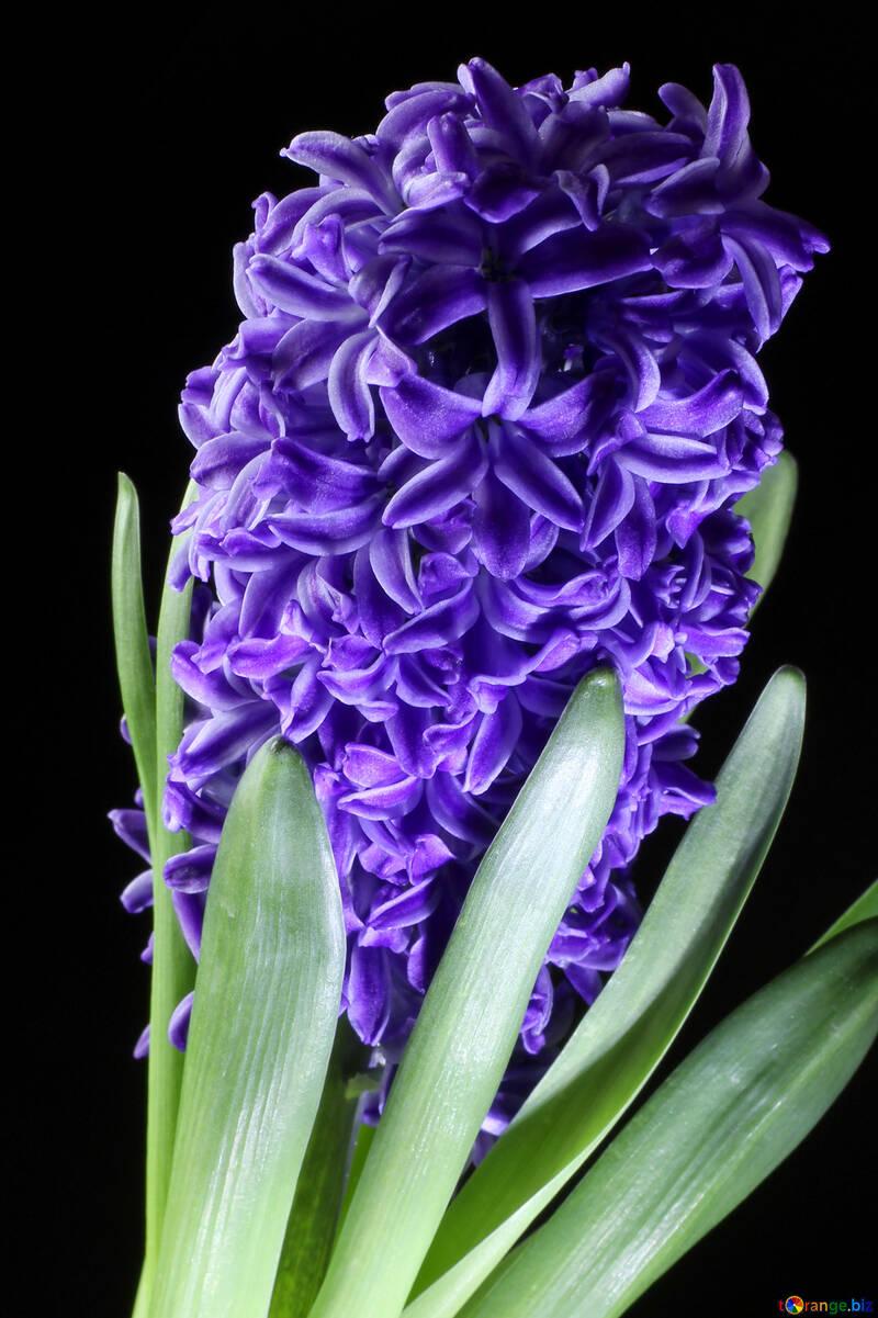 Jacinto de floración №43064