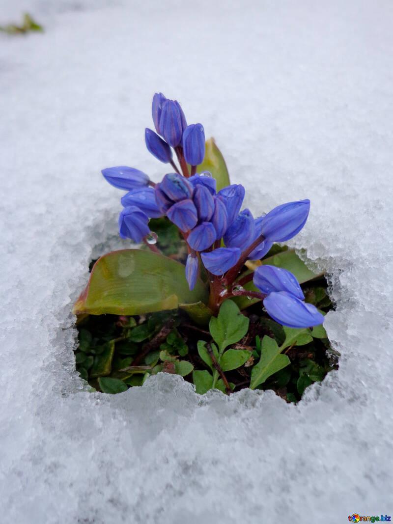 Bluebell scilla flowers flower under snow snow № 43139