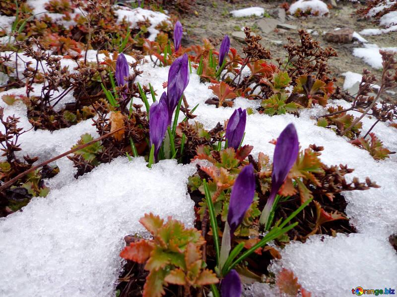 Flowers Crocuses Crocus First Spring Flowers Spring 43146