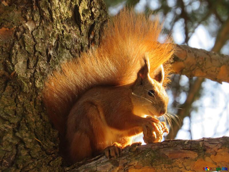 Eichhörnchen auf dem Baum №43163