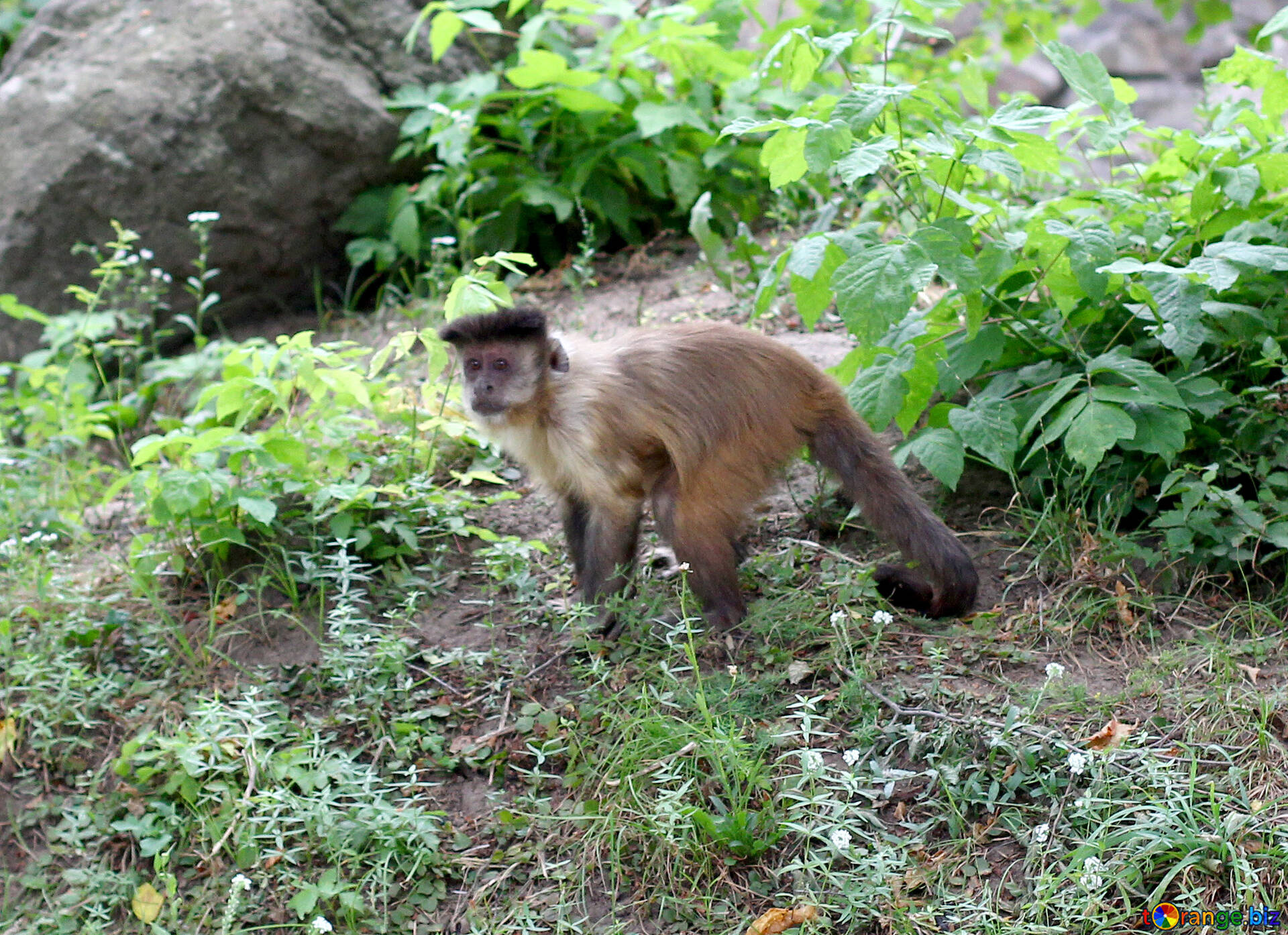 Monkey capuchin monkeys animal № 44922