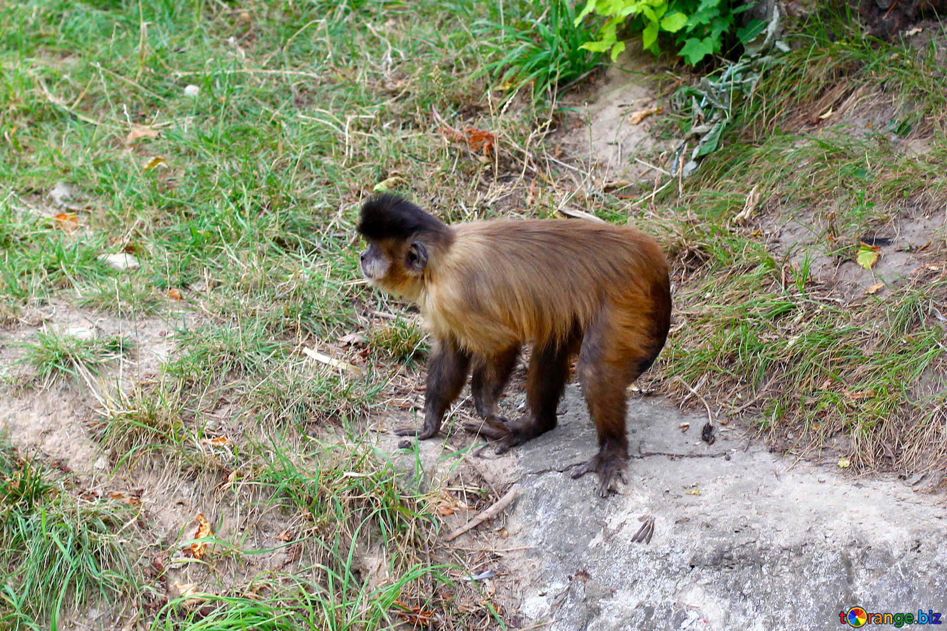 Monkey capuchin monkeys animal № 44928