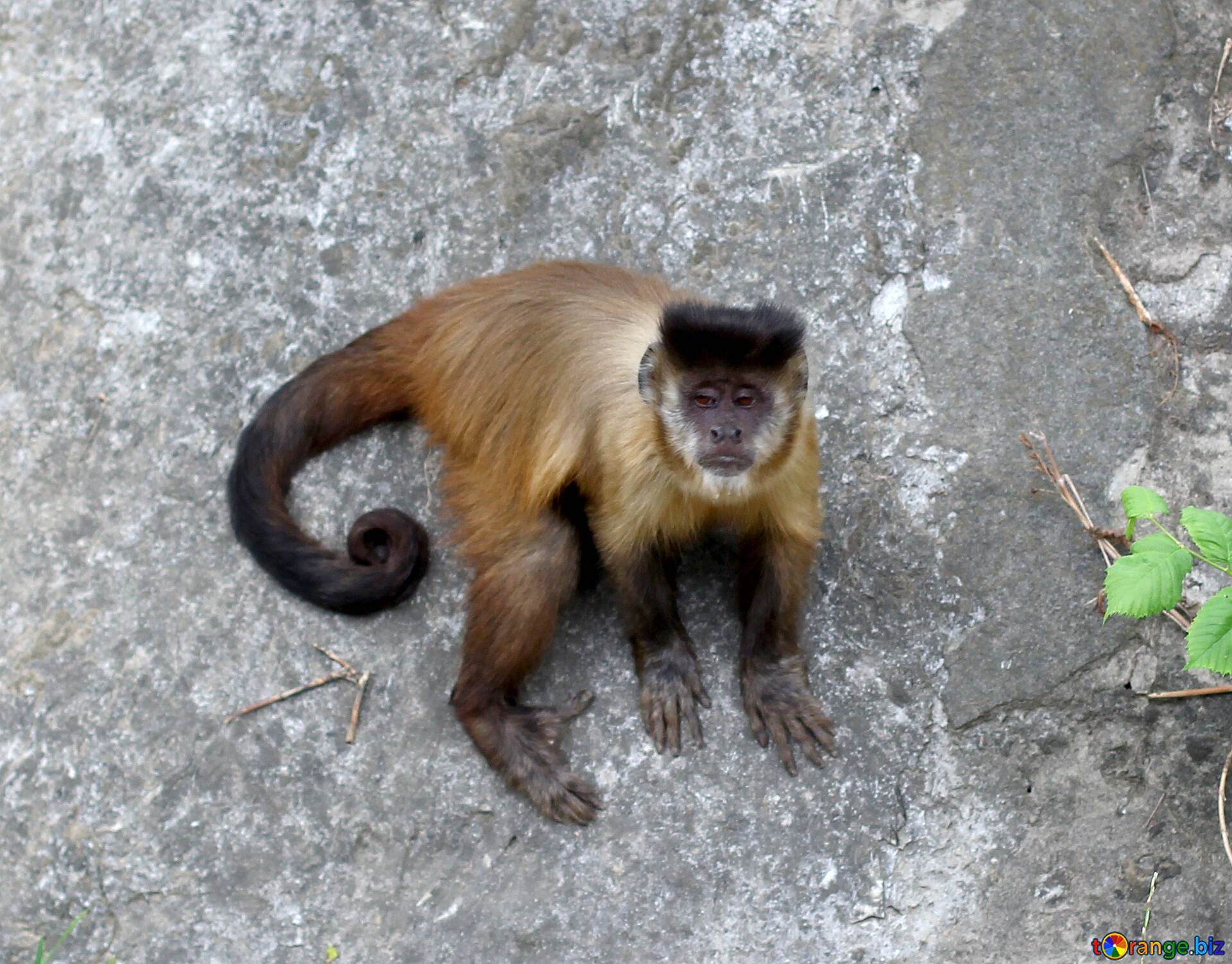 Monkey capuchin monkeys animal № 44929