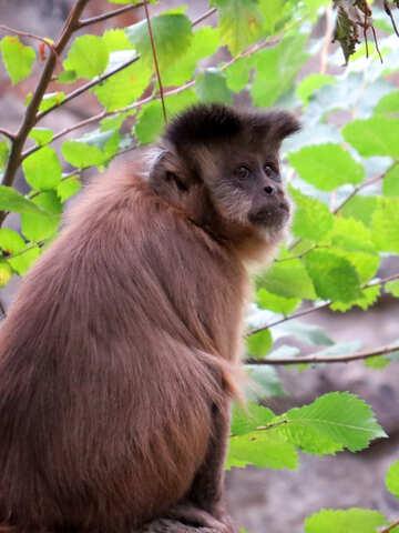 Capuchin №44951