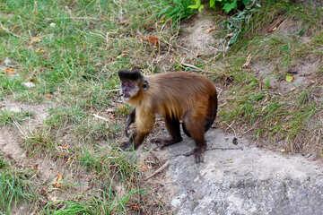 Capuchin monkeys №44927