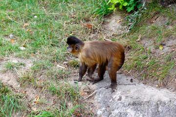 Capuchin monkeys №44928