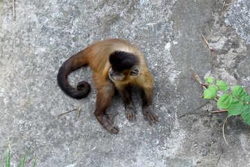 Capuchin monkeys №44930