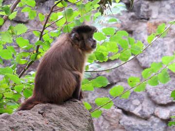 Capuchin in a tree №44950