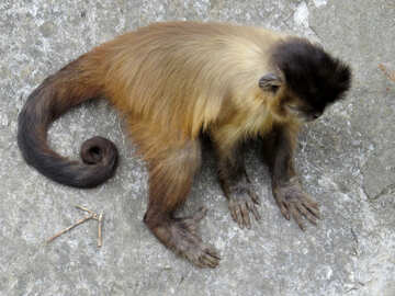 Capuchin №44963