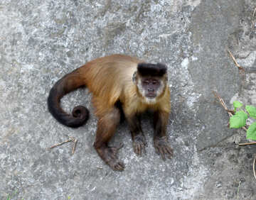 Capuchin monkeys №44929