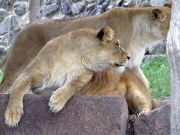 Lioness №44983