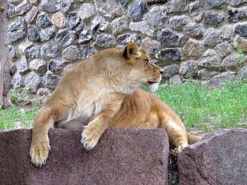 Lioness №44984