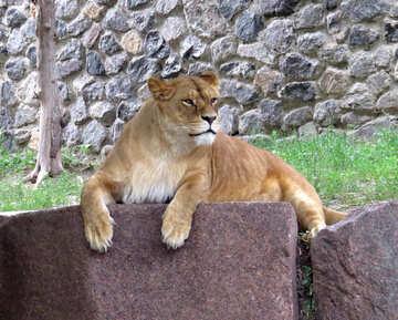 Lioness №44985