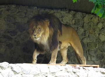 A lion №44966