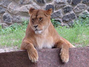A lion №44973