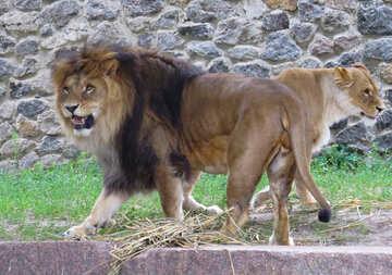 A lion №44992