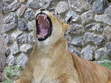 The lion roars №44972