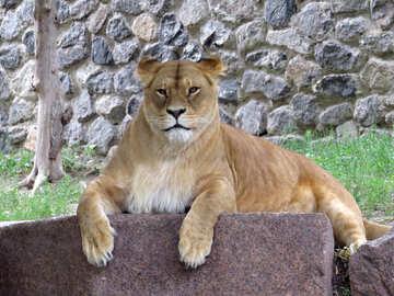 Lioness №44986