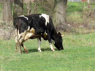 Cow №44604